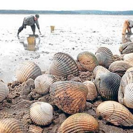 cockle pickers at Morecambe Bay